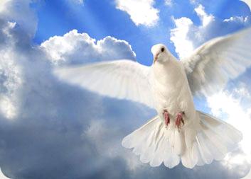 white dove 8