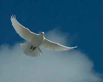 white dove1