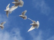 white dove2