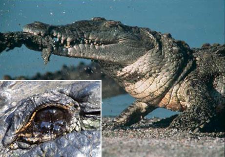 crocodile-tears