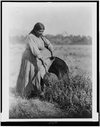 Edward S. Curtis Collection- Gathering Seeds-Coast Pomo