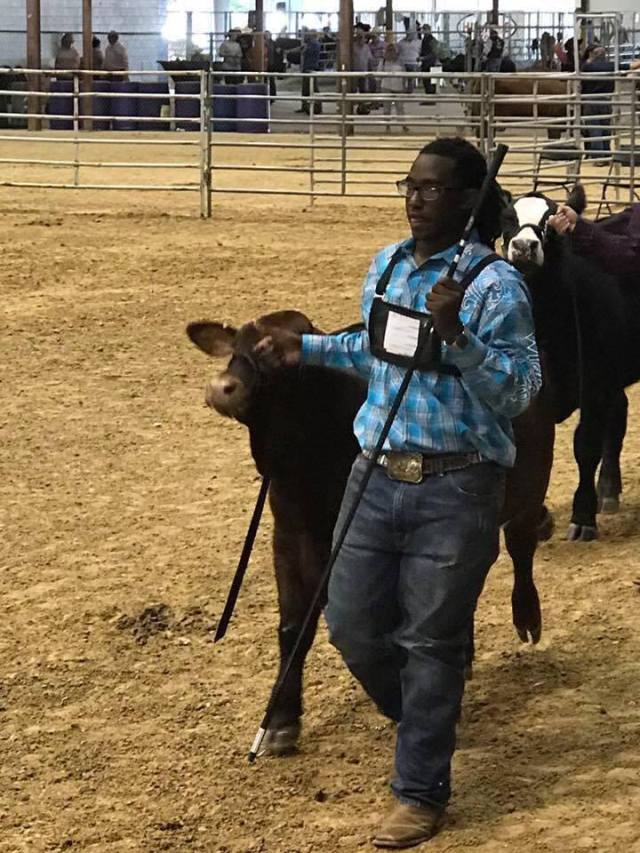 isaiah-showing-heifer-2